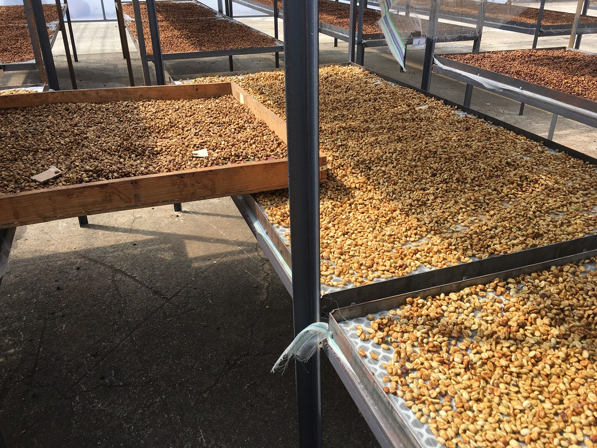 african beds arabica drying